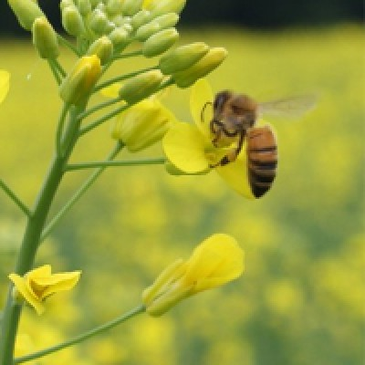 CanolaHoney