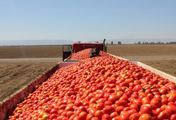Ready to haul. Processing tomatoes just harvested in Dixon, California. Deconstructing Dinner camera operator Adam Crosby can be seen in the middle of the shot.