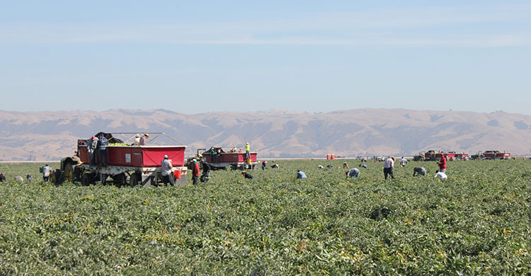 Workers picking field tomatoes in Hollister, California. Featured as part of the Tomatoes episode for the Deconstructing Dinner television series.